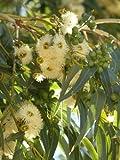 Seedeo Eucalyptus (Eucalyptus globulus bicostata) 200 Samen