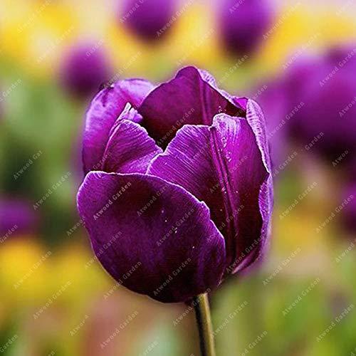 Shopmeeko GRAINES: 2 pièces National Fleur Tulipe de vivaces Jardin Plantes nombreuses variétés Bonsai colorés cadeaux de haute spécification Fleurs: 2TulipsPurple