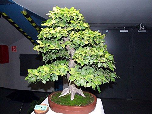 Carpino europeo, Carpinus betulus, 60 semi di albero (caduta a colori, Bonsai, Potato)