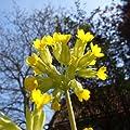 lichtnelke - Schlüsselblume (Primula veris) GELB von Lichtnelke Pflanzenversand - Du und dein Garten