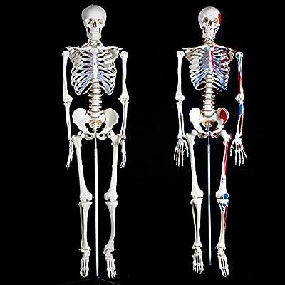 TecTake Squelette taille grandeur nature modèle anatomique du squelette humain - diverses modèles -