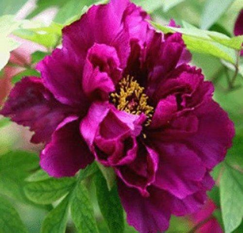 10 pcs / sac graines de pivoines Terrasse Cour Jardin Paeonia Suffruticosa Graines de fleurs vivaces plantes en pot pour le jardin de la maison 2