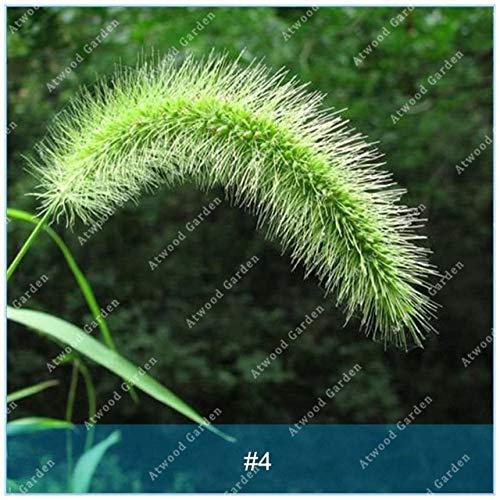 Shopmeeko SEEDS: ZLKING 100PCS Pennisetum Gras Bonsaipflanzen für Hausgarten-Naturrasenteppich schnell wachsende Pflanze: 4 -