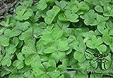 Quatre feuilles de trèfle Graines Pour 1000pcs Plantation, largement cultivée ...