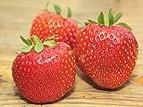 Erdbeerprofi - Erdbeere'Senga Sengana' - 20 Pflanzen - Frigo Erdbeerpflanzen - Junitragend - Erdbeersetzlinge - Erdbeerstecklinge