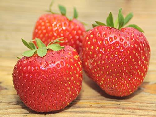 """Erdbeerprofi - Erdbeere""""Senga Sengana"""" - 20 Pflanzen - Frigo Erdbeerpflanzen - Junitragend - Erdbeersetzlinge - Erdbeerstecklinge"""