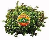 8 x XXL - Golliwoog - Golliwoog Ampel - Futterpflanze für Bartagamen, Vögel , Meerschweinchen, Kaninchen