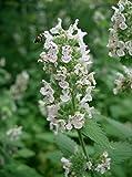 Asklepios-seeds® - 5000 Semi di Nepeta cataria, Erba gatta o erba gattaria,La gattàia, gattària