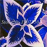 Sump Las nuevas 100 PC coleo semillas de plantas de hoja para el blanco azul hermosa jardinería