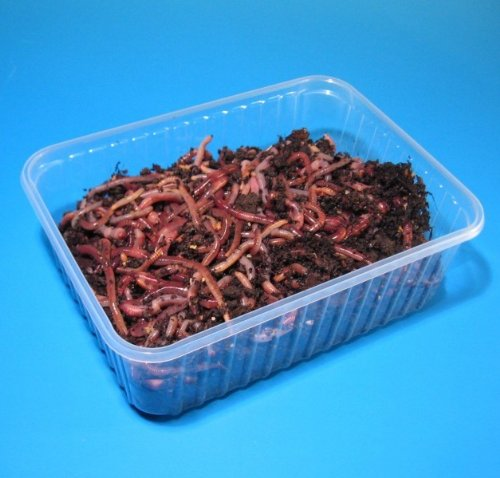 natursache.de Angelwurm - Dendrobena - Riesen-Rotwürmer, Lebendköder, Regenwürmer Lebend, Würmer, Anzahl:100 Stück in BigBox