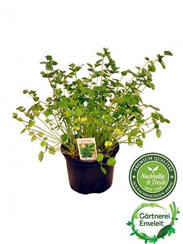 Pimpinelle im 12cm Topf, Kräuter Pflanze, Sanguisorba minor, frische Pimpinelle für Küche und...