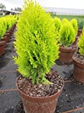 Thuja occidentalis Sunkist - gelber Lebensbaum Sunkist