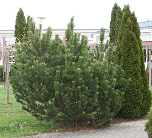 Bergkiefer - Pinus mugo - anspruchslos - windunempfindlich - 20-30 cm