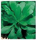 50 aprox - Baldrian Samen - Valerianella Heuschrecke in Originalverpackung hergestellt in Italien - Gemüsedelikatessen - Valeriane