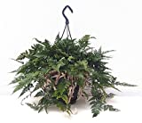 Tarantel-Farn, Spinnenfarn, Vogelspinnen-Farn, (Humata tyermannii) Zimmerpflanze, kräftige Pflanze in der 20cm Hängeampel