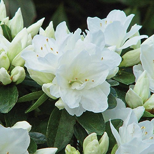 dwarf-japanese-azalea-geisha-white-garden-shrub-grown-in-pot-9cm
