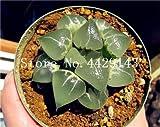IDEA HIGH Seeds-200 Pcs/Lot Bonsai Büro Schreibtisch Blumen Yulu Pseudotruncatella Stein Viva Lithops Sweatshirts Bonsai Anti-Strahlung Luftreinigung: 16