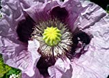 Papaver Somniferum, Traditional Cottage Garden Poppy Seeds, 5g approx 10000 seeds