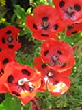 PAPAVER COMMUTATUM POPPY - LADYBIRD 0.75GM ~ 7,000 SEEDS