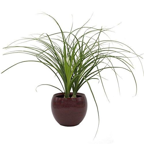 Zimmerpflanze Elefantenfuß, Beaucarnea recurvata, 3 kleine Pflanzen im Topf - mit edlem, rotem Blumentopf