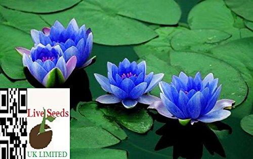 bonsai-lotus-wasser-lily-blume-bowl-pond-5-frische-samen-parfum-mini-blau-lotus