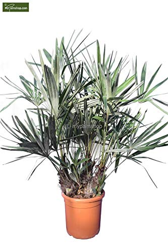 Rhapidophyllum hystrix - Nadelpalme - RARITÄT - extrem Frosthart - verschiedene Größen (90-120cm - Stamm 20-25cm - Topf Ø 28cm)