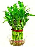 #5: Ugaoo Lucky Bamboo 2 Layer Plant