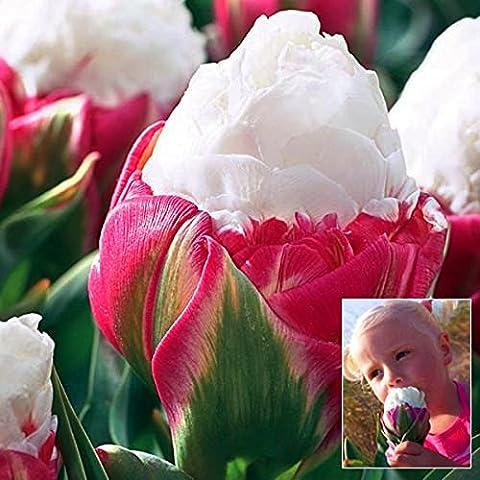 Bluelover 1pcs doble pétalo color de rosa blanco hielo crema tulipán bulbo jardín patio Tulipa Gesneriana semillas