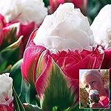 Bluelover 1Pcs Doppio Petalo Rosa Bianco Ghiaccio Crema Tulip Bulb Giardino Cortile Tulipa Gesneriana Seme