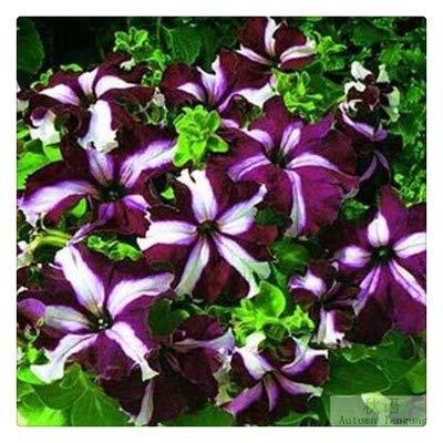 Hängende Petunien Blumensamen
