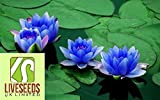 Liveseeds - Bonsai Lotus / giglio di acqua di fiori Bowl-Stagno / 5 semi freschi / Profumo Mini Blu Lotus