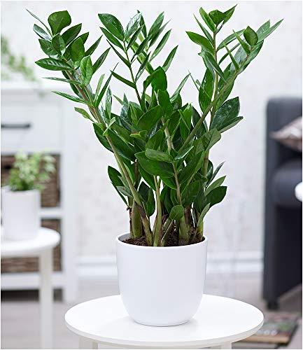 BALDUR-Garten Zamioculcas ca. 40 cm hoch,1 Pflanze Glücksfeder, Zamie, Zamia Farn, Zamia Palme, pflegeleichte Zimmerpflanze