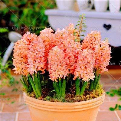 Shopmeeko Samen: 100pcs / bag Hyacinth Bonsai Blume (nicht Hyazinthe Glühbirne) Holland hydroponische Blume Außenanlage für Hausgarten: 3