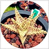AGROBITS 100pcs Aloe bonsai Mix Houseplants eccellenti Succulente Aloe Vera bonsai Usa bellezza commestibile Cosmetic Bonsai Piante di impianto: 23