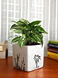 Rolling Nature Good Luck Air Purifying Live Green Syngonium Plant in White Square Aroez Ceramic Pot