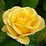 ROSE HAPPY GOLDEN WEDDING- Wonderful Rose Gift To Celebrate A Golden Wedding Anniversary Gift