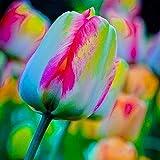 Semi 100pcs bulbi di tulipano, Special arcobaleno semi di fiori per primavera estate Garden Decor