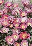 TROPICA - Kalifornischer Mohn `Pink Bush` ( Eschscholzia californica ) - 100 Samen