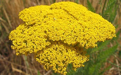 ScoutSeed Achillea millefolium Tuch aus Gold Schafgarbe Pflanze 7cm Topf Kostenlose Lieferung ab 20 â'¬