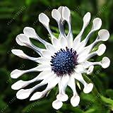 100pcs / sac de graines de Osteospermum, graines de marguerite, fleurs de Osteospermum, 8 couleurs, graines bonsaï de fleurs, la nature plante en pot pour la maison jardin