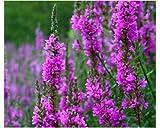 Gewöhnliche Blutweiderich - Purple Loosestrife - Lythrum salicaria - 200 Samen