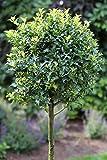 Dominik Blumen und Pflanzen, Stechpalmen-Stämmchen ´Alaska´ Ilex aquifolium, 50 cm, 3-L Container, 1 Pflanze, grün, 115 x 20 x 20 cm