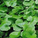 Hot Wasabi Semillas 100pcs / bolsa de semillas de rábano picante japonés vegetal Wasabia japónica jardín de Bonsai Plantas de bricolaje