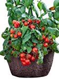 Busch-Tomate -Red Robin- 10 Samen -Balkon/Topf-Tomate-