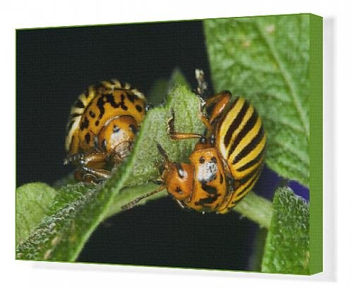 canvas-print-of-agriculture-two-colorado-potato-beetles-leptinotarsa-decemlineata-feeding