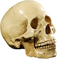 Life Size 1:1 Replica Realistic Human Anatomy Skull Gothic Halloween Decor Ornament Anatomical Medical Teaching Skeleton (Ye