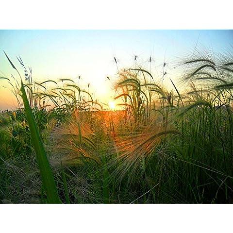 Las semillas 100pcs Bonsai hierba ornamental planta de cebada de cola de zorra de la flor de la hierba Semillas de Plantas Decoración Hordeum jubatum Inicio Jardín
