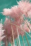 Amerikanisches Pampasgras (rosa) ca. 200 Samen Cortaderia selloana