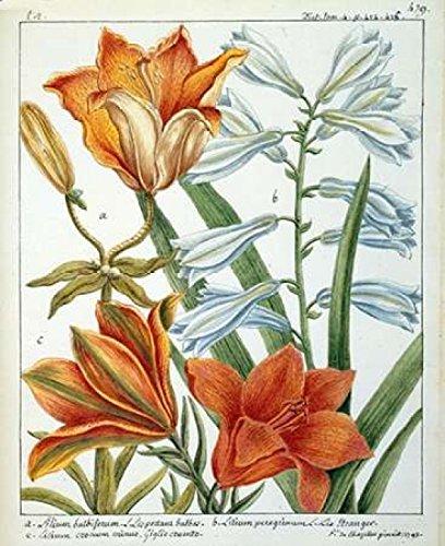 The Poster Corp Laurent De Chazelles - Lilium Bulbiferum Kunstdruck (25,40 x 30,48 cm)