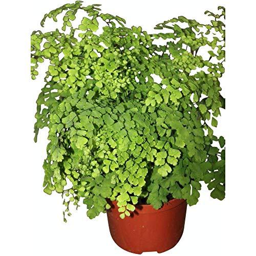 Zimmerpflanze - Adiantum Raddicons